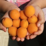 Our first apricot harvest