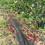 Hail damage on our Prairie Cherry trees