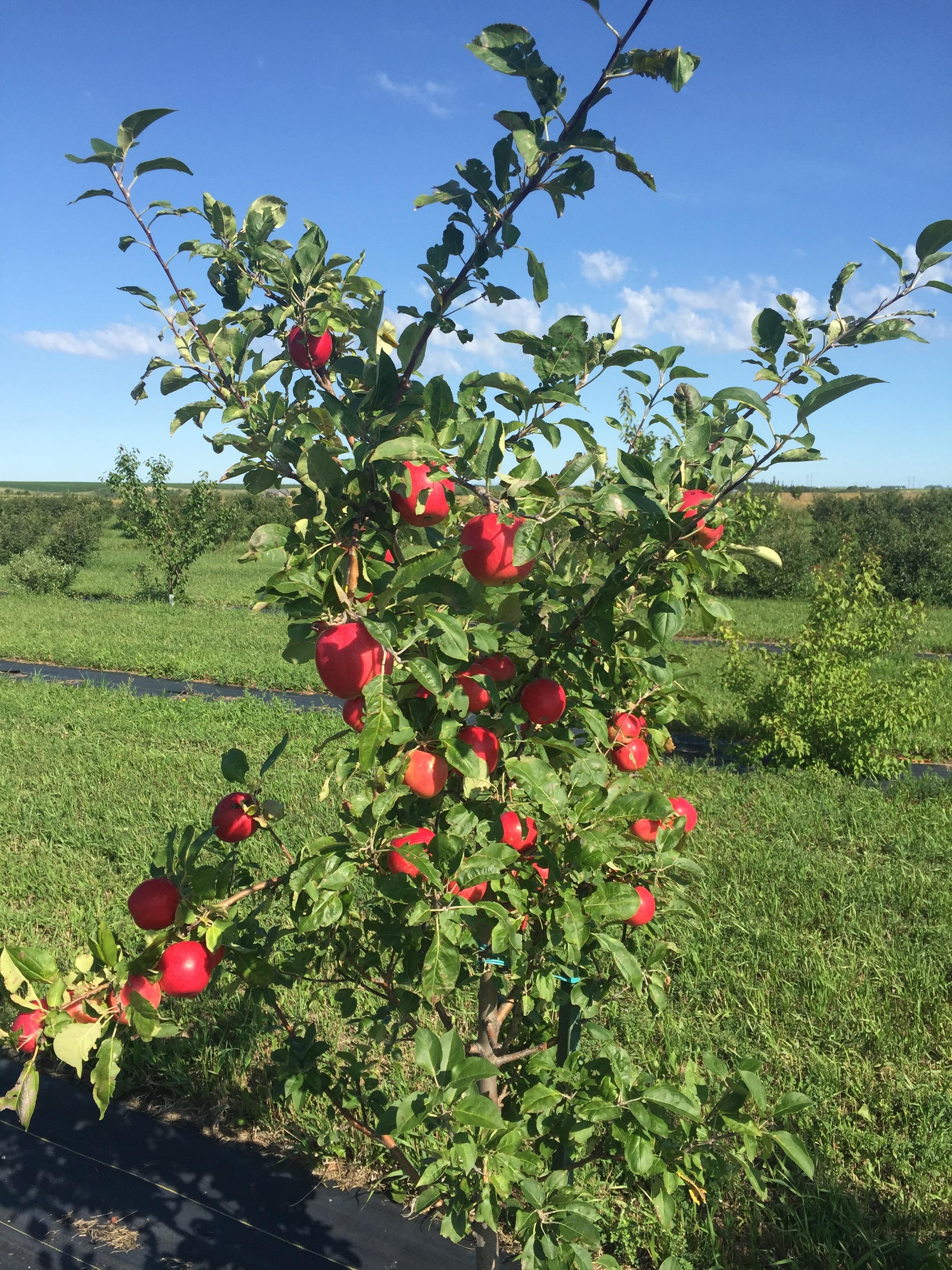 Prairie Apple Fruit
